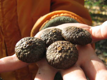 Large acorn caps found in Sligo Creek