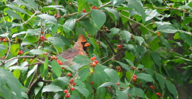 Cardinal in the shrubbery
