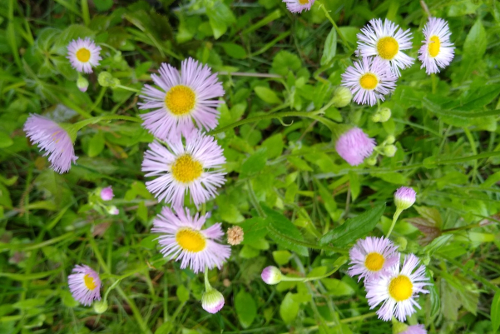 Fleabane in flower
