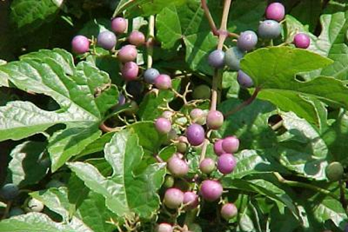 Photo of an invasive Porcelainberry vine with typical reddish blue berries