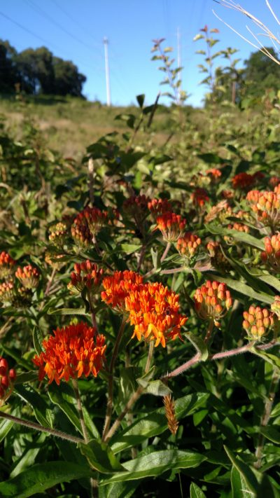Butterfly milkweed in bloom under powerline