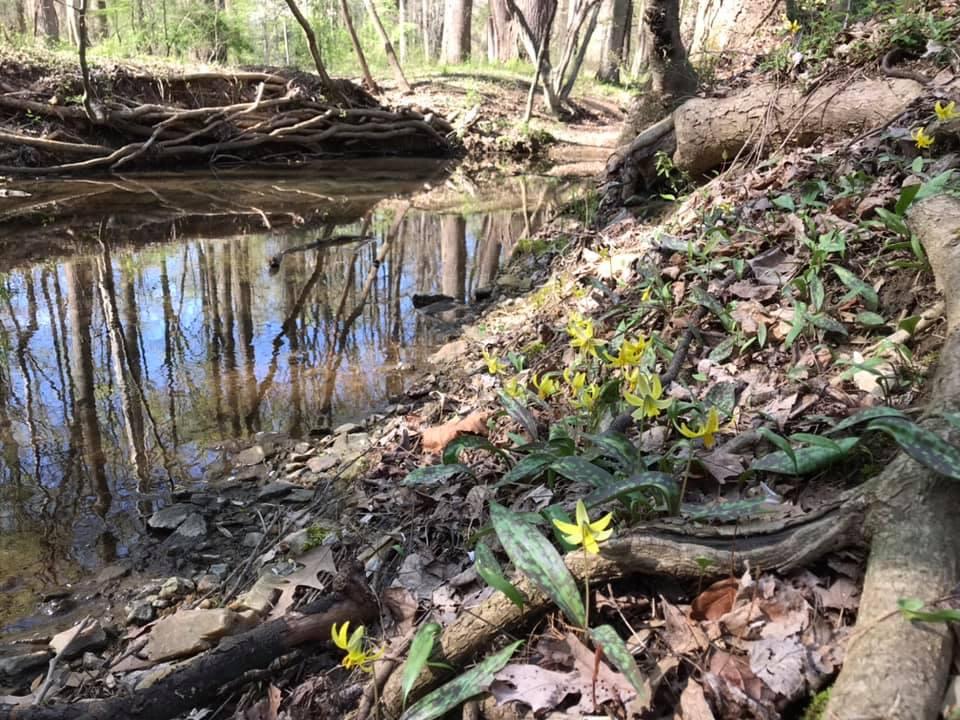 Yellow trout lilies on sligo