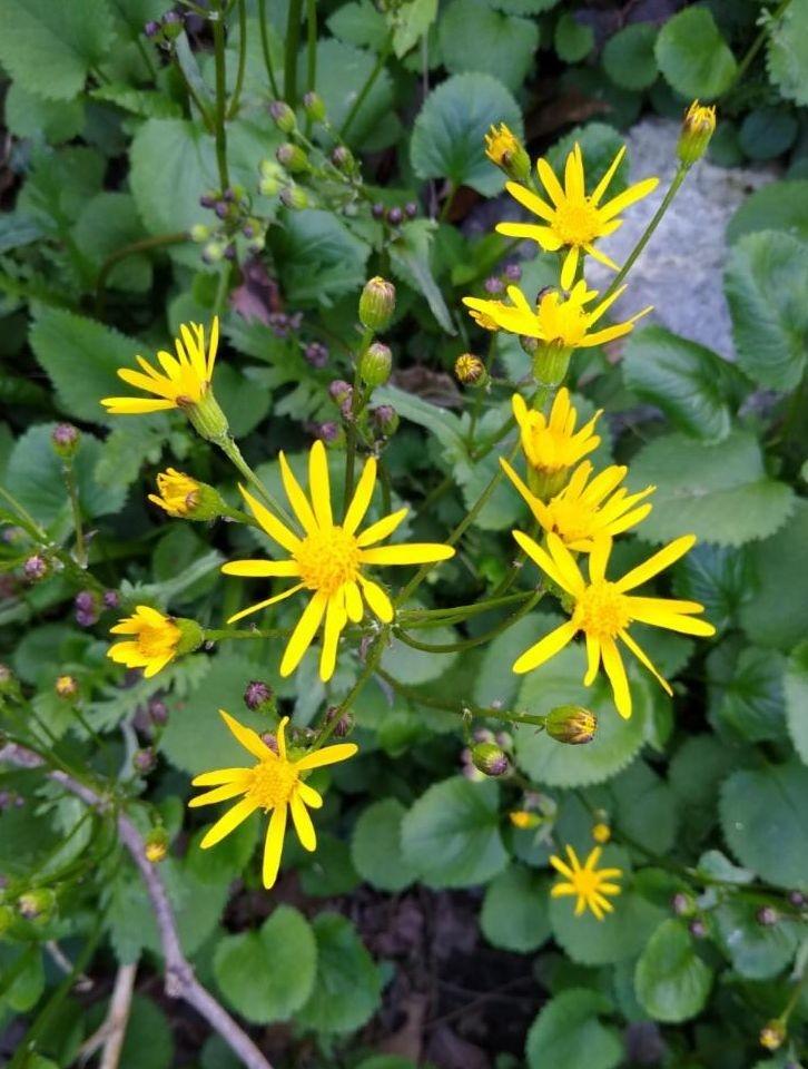 Golden ragwort in flower