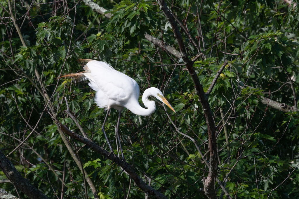 Great Egret at the Wheaton Branch Ponds June 2020