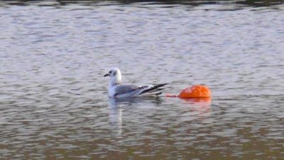 A seagull entangled in a released orange balloon.