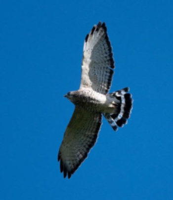 Broadwinged hawk against the blue sky at the Wheaton branch ponds. Photo taken by Stephen Davies