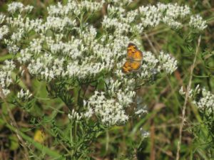A flowering boneset plant with a Pearl Crescent skipper in the Powerline Meadow Habitat.
