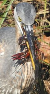 Great Blue Heron with a crayfish in its mouth