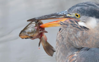 great blue heron snags a brown bullhead fish