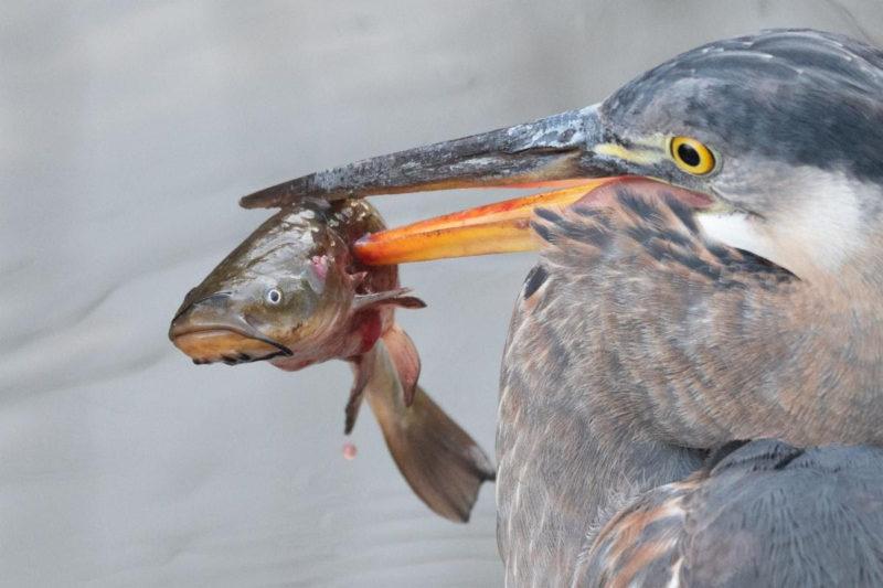 great blue heron snags a brown bullhead fish