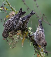 Pine Siskins at Wheaton Branch Ponds by Stephen Davies