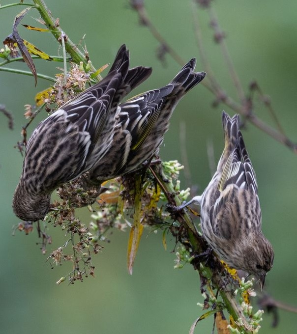 Pine Siskins at Wheaton Branch Ponds by Stephen Davies