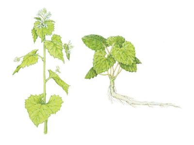 Garlic Mustard plants in years 1 and 2