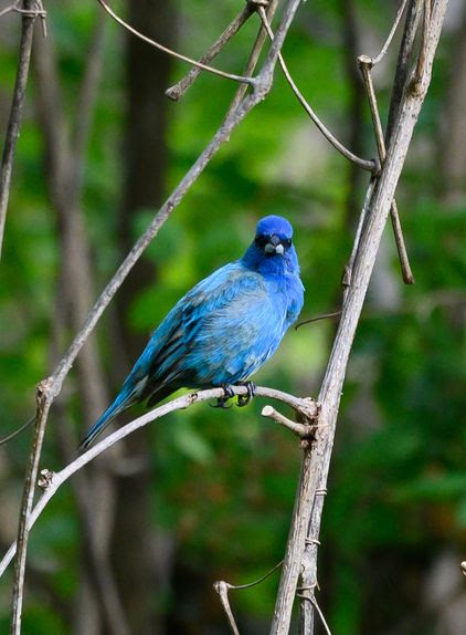 An indigo bunting bird photographed by S. Davies at the Wheaton Branch ponds June 9, 2021