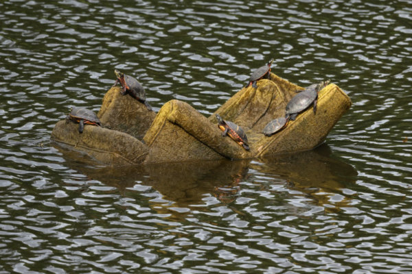 7 eastern painted turtles basking in the sun on a large discarded upholstered chair floating in the Wheaton Stormwater Ponds.