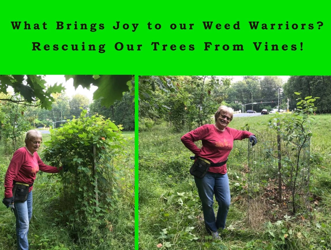 A tree choked with vines before being freed by a Weed Warrior, and afterward.