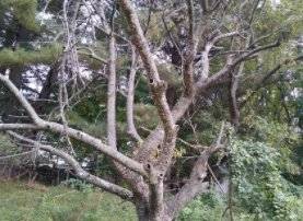 Dead tree slated for removal by Parks in Oct 2021felling in October